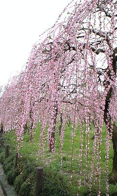 農業公園梅まつり4.png