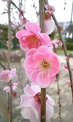 農業公園梅まつり5.png